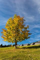 Colorful tree on the plateau Pokljuka in Alps
