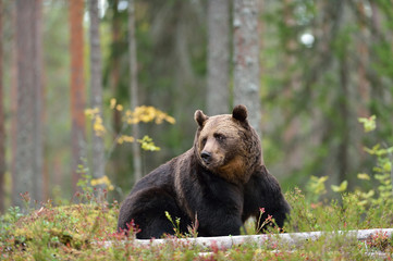 Brown bear sitting in the forest
