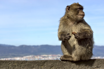 monkey sitting on a stone fence on the background of the mountai