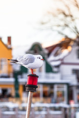 Small Town Harbor Seagull