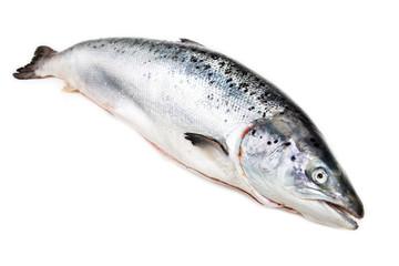 Atlantic salmon  on white background