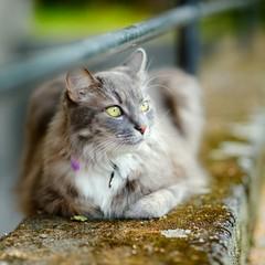 Beautiful gray cat by a doorstep