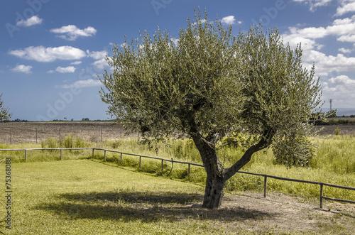 Tuinposter Olijfboom Albero di ulivo