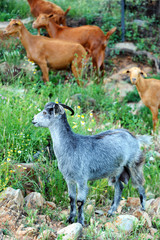 Flock goats on mount