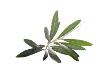 Rama de olivo aislada sobre un fondo blanco