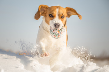 Winter Fun With Your Dog - Beagle