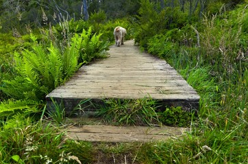 Dog crossing boardwalk on marshland