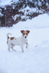 Jack Russell dog outdoors in winter