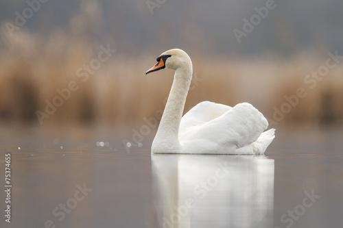 Foto op Plexiglas Zwaan Swan in love and nice background