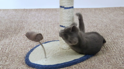 Cute grey kitten playing with mouse toy scratching post