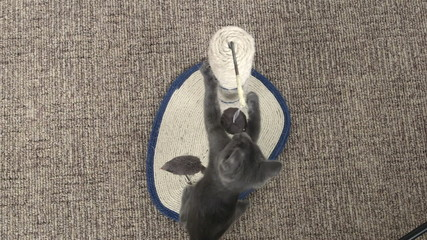 Cute grey kitten playing with mouse toy