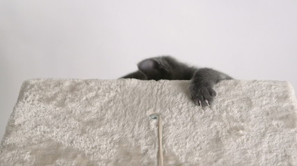 Cute grey kitten climbing up cat tree platform