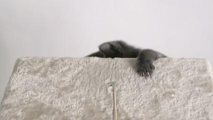 Cute grey kitten climbing up cat tree platform