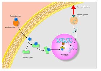 meccanismo d'azione di un ormone steroideo