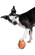 Boston Terrier dog playing with orange ball