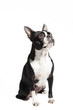 Boston Terrier dog looking up