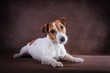 canvas print picture - Jack Russell dog