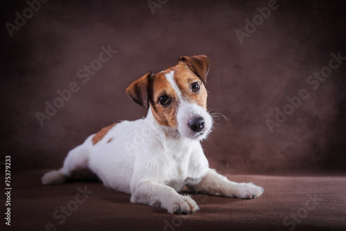 canvas print picture Jack Russell dog