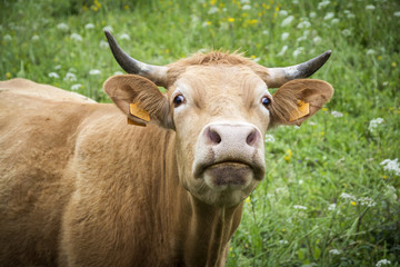 brown cow in the countryside looking at the camera
