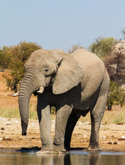Drinking Elephant near Dolomite Camp, Etosha, Namibia
