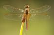 canvas print picture - libellula su sfondo verde