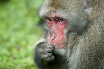 ritratto di macaco giapponese