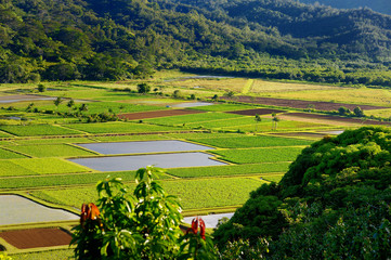 Taro fields in beautiful Hanalei Valley on Kauai
