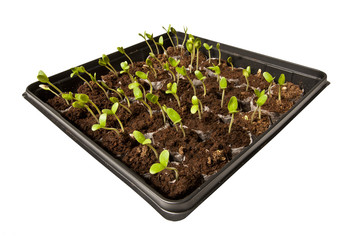 Tray of Young Seedlings Growing Toward The Light