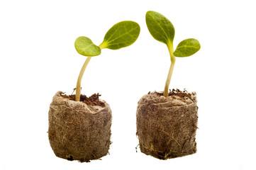 Two Baby Squash Plants