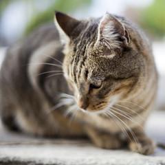 Gato pardo mirando al suelo