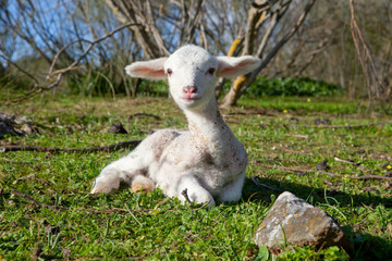 Lamb on dehesa landscape