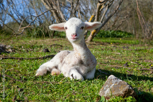 Sheep Lamb on dehesa landscape