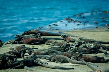 iguanas sunbathing in floreana island galpagos