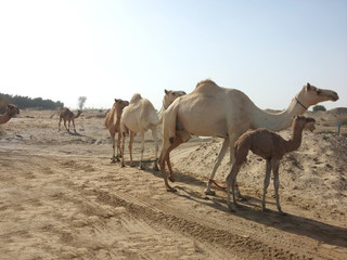 herd of camel