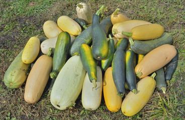 Vegetable marrows 29