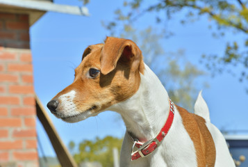 Parson Russell Terrier 4