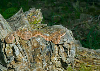 Venomous snake 20