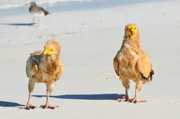 Стервятники ходят по песку на острове Сокотра