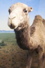 Closeup portrait of stuffed camel