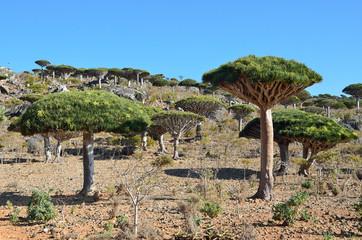 Йемен, остров Сокотра, Плато Диксам, драконовые деревья