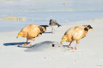 Стервятники клюют ската на берегу Аравийского моря