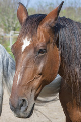 portrait of a brown horse from Tuscany