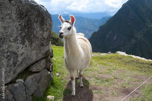 In de dag Lama Lama in Machu Picchu ruins