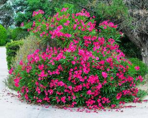 Lila Oleander Busch im Park