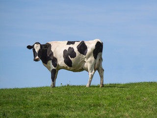 holstein cow on ridge