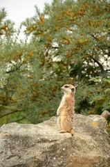 Meerkat (suricata)