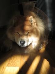 """Chow Chow Dog Wearing Head Cone (""""Elizabethan Collar"""")"""