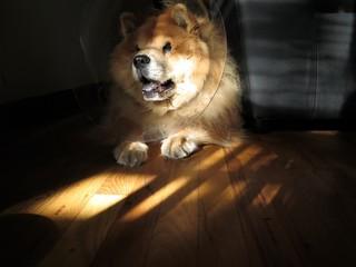 "Chow Chow Dog with Head Cone (""Elizabethan Collar"")"