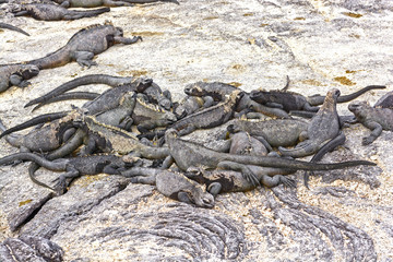 A group of Marine Iguanas on Shore