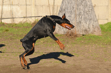 Doberman Pinscher dog training
